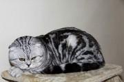 Вислоухий кот- жених