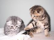 Котята британские,  шотландские вислоухие