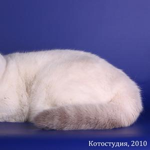 Британский кот- Гранд.Интер.Чемпион