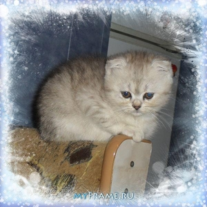 Продаются котята шотландские серебристые
