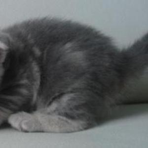 Продается шотландский котенок,  девочка