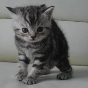 Продается шотландский котенок,  мальчик