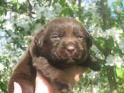 Продаются шоколадные щенки лабрадора
